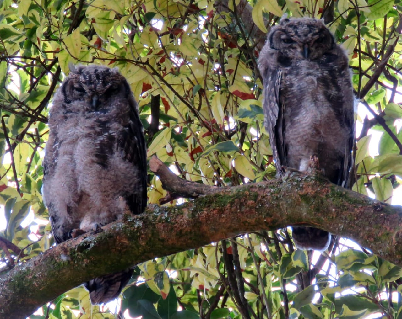 Spotted Eagle Owl chicks